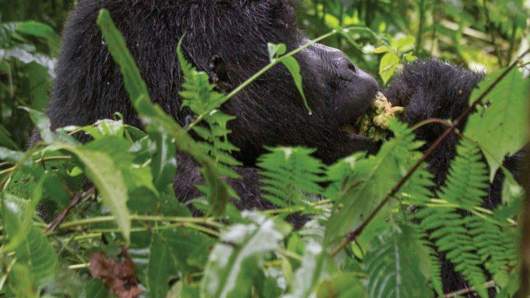 traveljunkies Afrika Ruanda Uganda Gorillas National Geographic Queen Elizabeth Nationalpark Vulkan Nationalpark Abenteuerreise Erlebnisreise Gruppenreise Adventure Schimpansen