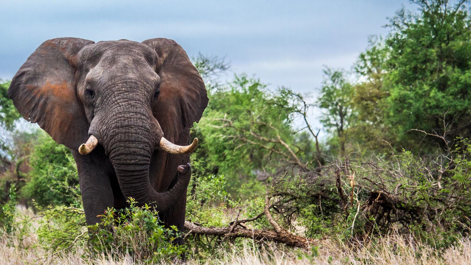 traveljunkies Elefant im Krüger Nationalpark Gruppenreise Südafrika Namibia National Geographic Abenteuerreise
