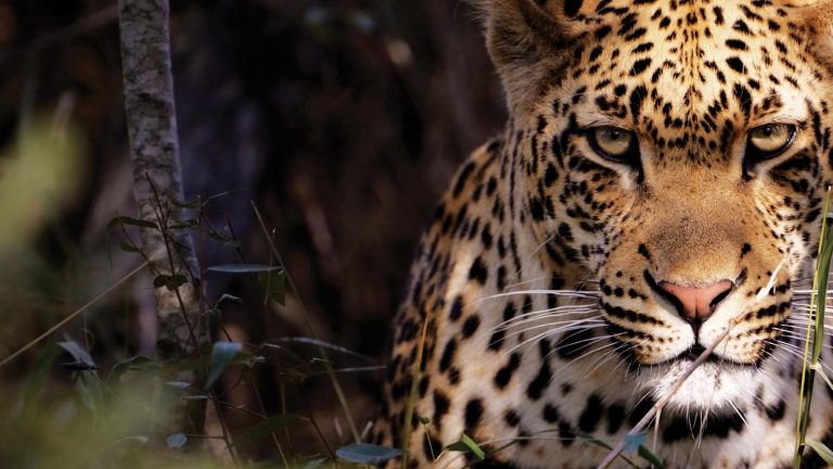traveljunkies Leopard im Kürger Nationalpark Südafrika Lesotho Swasiland Kapstadt Johannesburg Erlebnisreise Gruppenreise Abenteuerreise